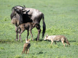Newborn Wildebeest Calf and Mother with Hunting Golden Jackals, Ngorongoro Crater, Tanzania Photographic Print