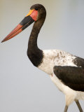 Close-Up of a Saddle Billed Stork Bird, Tarangire National Park, Tanzania Photographic Print