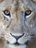 Close-Up of a Lioness, Tarangire National Park, Tanzania Fotografie-Druck