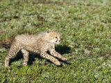 Cheetah Cub Running in a Forest, Ndutu, Ngorongoro, Tanzania Photographic Print