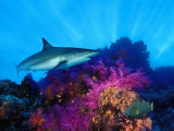 Caribbean Reef Shark and Soft Corals in the Ocean Lámina fotográfica