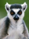 Close-Up of a Ring-Tailed Lemur, Berenty, Madagascar Photographic Print