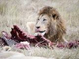 Lion Eating a Zebra, Ngorongoro Crater, Ngorongoro, Tanzania Photographic Print
