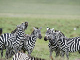 Burchell's Zebras in a Field, Ngorongoro Crater, Ngorongoro, Tanzania Photographic Print