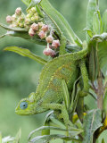 Close-Up of a Dwarf Chameleon, Ngorongoro Crater, Ngorongoro, Tanzania Photographic Print