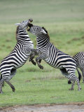 Burchell's Zebras Fighting in a Field, Ngorongoro Crater, Ngorongoro, Tanzania Photographic Print