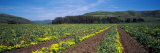 Artichoke Crop in a Field, California, USA Photographic Print by  Panoramic Images