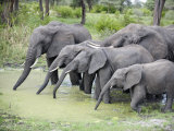 African Elephants Drinking Water in a Pond, Tarangire National Park, Tanzania Photographic Print