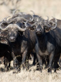 Cape Buffaloes in a Forest, Serengeti, Tanzania Photographic Print