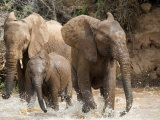 African Elephants Playing with Water, Samburu National Park, Rift Valley Province, Kenya Photographic Print