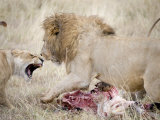 Lion and a Lioness Fighting for a Dead Zebra, Ngorongoro Crater, Ngorongoro, Tanzania Photographic Print