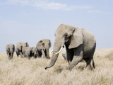 African Elephants in a Forest, Serengeti, Tanzania Photographic Print