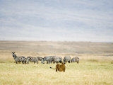 Lioness Looking at a Herd of Zebras, Ngorongoro Crater, Ngorongoro, Tanzania Photographic Print