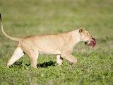 Lioness Walking in a Field, Ngorongoro Crater, Ngorongoro, Tanzania Photographic Print