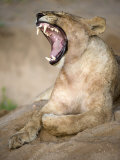Lioness Yawning in a Forest, Tarangire National Park, Tanzania Photographic Print
