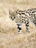 Serval Stalking His Prey, Ngorongoro Crater, Ngorongoro, Tanzania Photographic Print