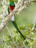 Close-Up of Resplendent Quetzal Perching on a Branch, Savegre, Costa Rica Photographic Print