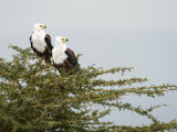 Two African Fish Eagles Perching on a Tree, Naivasha, Rift Valley Province, Kenya Photographic Print