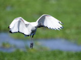 Sacred Ibis in Flight, Ngorongoro Crater, Ngorongoro, Tanzania Photographie
