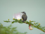 Bananaquit Perching on a Eucalyptus Blossom, Cano Negro, Costa Rica Photographic Print