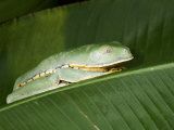 Close-Up of a Gliding Tree Frog on a Banana Leaf, Costa Rica Photographic Print