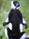 Black and White Ruffed Lemur Sitting on a Branch, Lemur Island, Madagascar Photographic Print