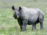 Black Rhinoceros Grazing in a Field, Ngorongoro Crater, Ngorongoro, Tanzania Photographic Print