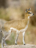 Klipspringer Standing in a Forest, Lake Manyara, Tanzania Photographic Print