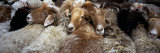 Goats in a Market, Kashgar, Xinjiang Province, China Photographic Print by  Panoramic Images