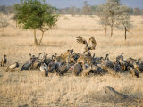 Flock of Vultures on a Kill, Ngorongoro Crater, Ngorongoro, Tanzania Photographic Print