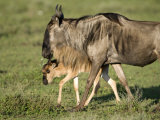 Newborn Wildebeest Calf with its Mother, Ndutu, Ngorongoro, Tanzania Photographic Print