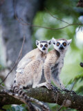Ring-Tailed Lemur with its Young One, Berenty, Madagascar Photographic Print