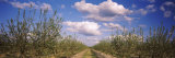 Dirt Road Passing Through an Almond Orchard, Central Valley, California, USA Photographic Print by  Panoramic Images