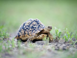 Leopard Tortoise Moving Slowly in a Field, Tarangire National Park, Tanzania Fotografie-Druck