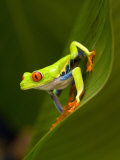 Close-Up of a Red-Eyed Tree Frog Sitting on a Leaf, Costa Rica Lámina fotográfica