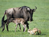 Newborn Wildebeest Calf and Mother with Hunting Golden Jackals, Ngorongoro Crater, Tanzania Photographie
