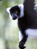 Close-Up of a Black and White Ruffed Lemur, Lemur Island, Madagascar Photographic Print