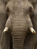 Close-Up of an African Elephant Trunk, Lake Manyara, Tanzania Photographic Print