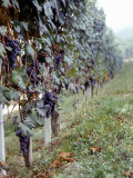 Bunches of Grapes Growing in a Vineyard, Barbaresco Docg, Piedmont, Italy Photographic Print