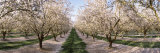 Almond Trees in an Orchard, Central Valley, California, USA Lámina fotográfica por Panoramic Images,
