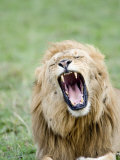 Close-Up of a Lion Yawning, Masai Mara National Reserve, Kenya Photographic Print