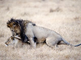 Lion and a Lioness Mating in a Forest, Ngorongoro Crater, Ngorongoro, Tanzania Photographic Print