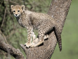 Cheetah Cub Climbing a Tree, Ndutu, Ngorongoro, Tanzania Photographic Print