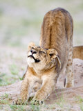 Lioness Stretching in a Forest, Tarangire National Park, Tanzania Photographic Print