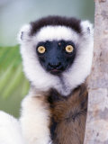 Close-Up of a Verreaux&#39;s Sifaka Lemur, Berenty, Madagascar Photographic Print