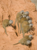 Dwarf Mongooses on a Termite Mound, Tarangire National Park, Tanzania Photographic Print