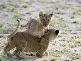 Two Lion Cubs Playing in a Forest, Tarangire National Park, Tanzania Photographic Print