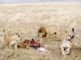 Lion Family Eating a Zebra, Ngorongoro Crater, Ngorongoro, Tanzania Photographic Print