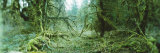 Trees in a Rainforest, Olympic National Park, Olympic Peninsula, Washington State, USA Photographic Print by  Panoramic Images