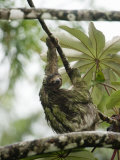 Close-Up of a Three-Toed Sloth Hanging on a Tree, Costa Rica Photographic Print